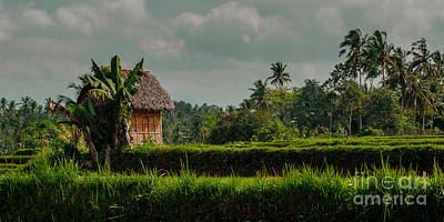 Paddy Fields Print by Julian Cook