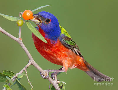 Bunting Digital Art - Painted Bunting Eating Granjeno Berry by Jerry Fornarotto