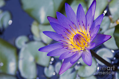 Makro Photograph - Painted Islands Of Summer Lilies - The Lotus Blossom by Sharon Mau