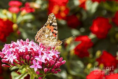 Painted Lady Butterfly Print by Eyal Bartov