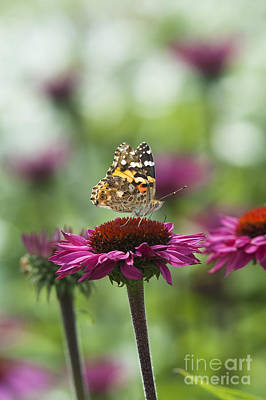 Painted Lady Butterfly  Print by Tim Gainey