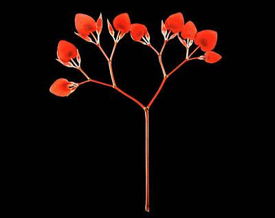 Begonias Photograph - Painted Lead Begonia (begonia Picta) by Gilles Mermet