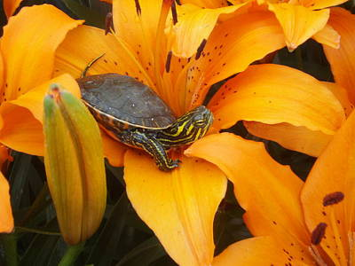 Peterson Nature Photograph - Painted Lilly by James Peterson