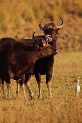 Bison Photograph - Pair Of Indian Gaur, Tadoba Andheri by Jagdeep Rajput