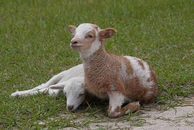 Pair Of Lambs Print by Richard Baker