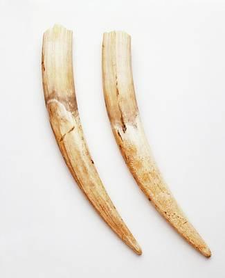 Pair Of Walrus Tusks Print by Dorling Kindersley/uig