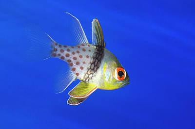 Pyjama Photograph - Pajama Cardinalfish by Nigel Downer
