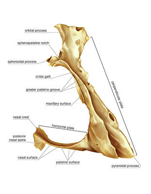 Palatine Bone Print by Asklepios Medical Atlas