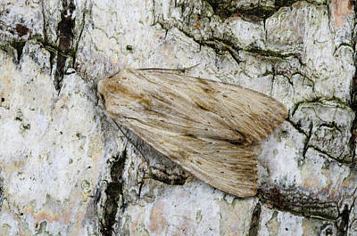 Pinion Photograph - Pale Pinion Moth by Nigel Downer