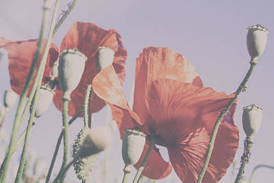 A Sunny Morning Photograph - Pale Poppy Day by Georgia Fowler
