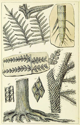 Print featuring the photograph Paleozoic Flora, Calamites, Illustration by British Library