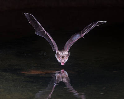 Pallid Bat  Print by Shirley Ramaley