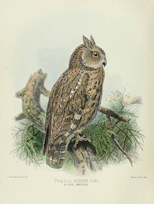 Pallid Scops Owl Print by J G Keulemans