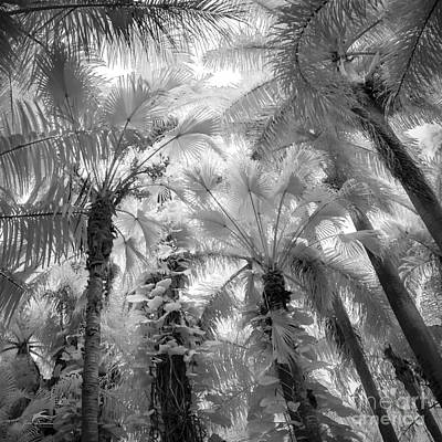 Black And White Infared Palm Tree Forest 1 In Saint Petersburg Fl Print by Jim Swallow