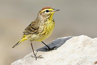 Avian Photograph - Palm Warbler by Larry Ricker