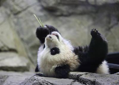 Panda Cub Print by Jack Nevitt