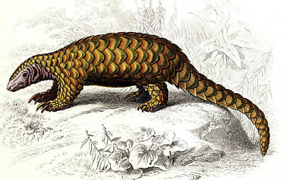 Pangolin Print by Collection Abecasis