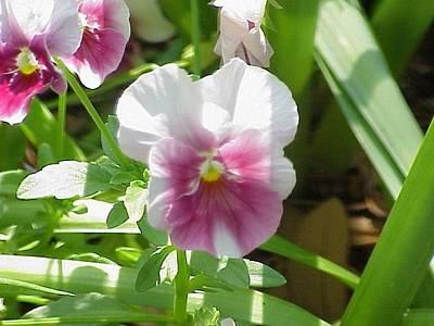 Floral Photograph - Pansies In Spring by Hollye Knox