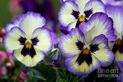 Pansy Faces Print by Theresa Willingham