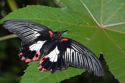 Imitation Photograph - Papilio Memnon Butterfly by Dirk Wiersma