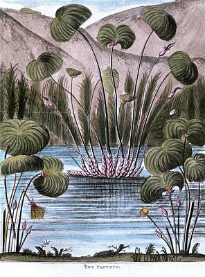 Papyrus Photograph - Papyrus Reed (cyperus Papyrus) by Universal History Archive/uig