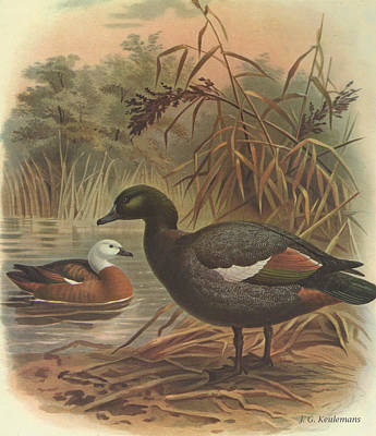 Duck Painting - Paradise Duck by J G Keulemans