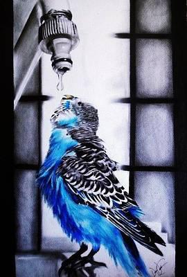 Parakeet Drawing - Parakeet Drinking Water by Desire Doecette