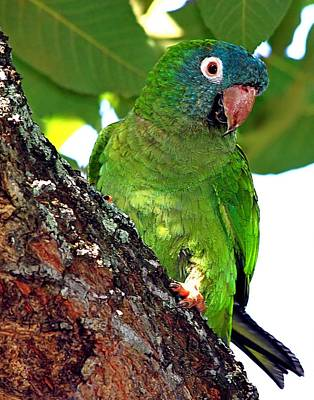 Parakeet In A Tree Print by Ira Runyan
