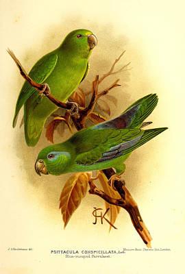 Parakeet Painting - Parakeet by J G Keulemans