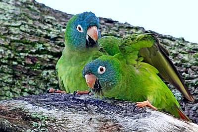 Parakeets In An Oak Tree Print by Ira Runyan