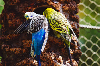 Parakeet Photograph - Parakeets by Pati Photography