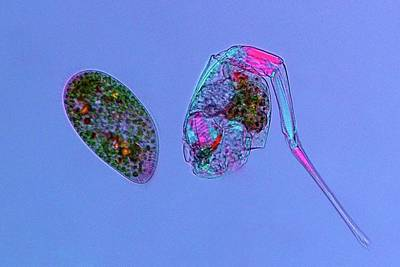 Microscopy Photograph - Paramecium And Rotifer by Marek Mis
