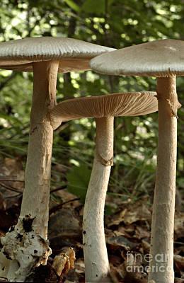 Parasol Mushrooms Macrolepiota Sp Print by Susan Leavines