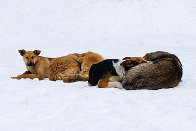 Mercy Photograph - Pariah Dogs On The Snow - Featured 2 by Alexander Senin