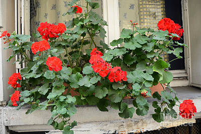 Paris Window Flower Box Geraniums - Paris Red Geraniums Window Flower Box Print by Kathy Fornal