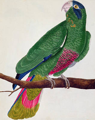 Parrot Drawing - Parrot by Francois Nicolas Martinet