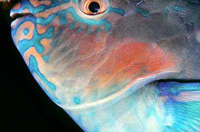 Parrotfish 2 Print by Dawn Eshelman