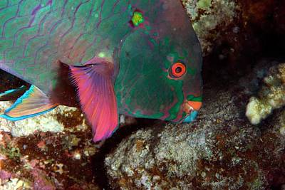 Parrotfish Feeding Print by Louise Murray