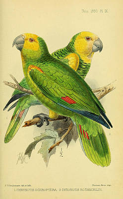 Parrots Print by J G Keulemans