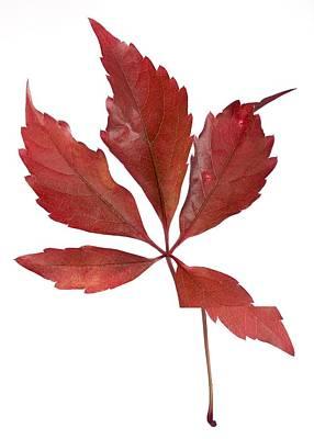 Parthenocissus Quinquefolia Leaf Print by Science Photo Library