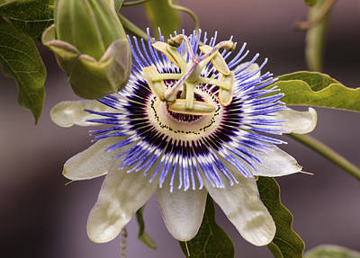 Passionflower Photograph - Passiflora Caerulea by Caitlyn  Grasso