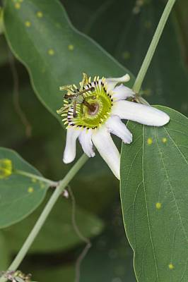 Passiflora Cuneata Print by Science Photo Library