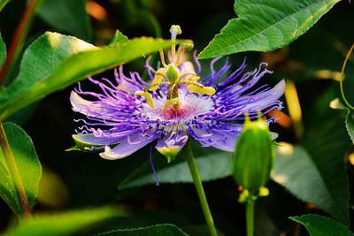Passiflora Incarnata Print by Adam LeCroy
