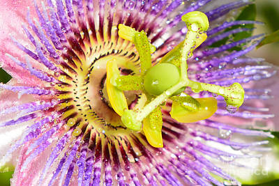 Flowers Photograph - Passiflora The Passion Flower by Olga Hamilton