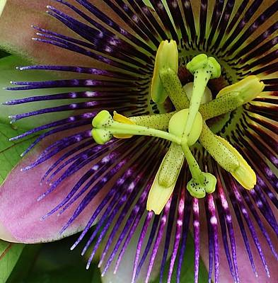 Amature Photograph - Passion Flower Up Close by Bruce Bley