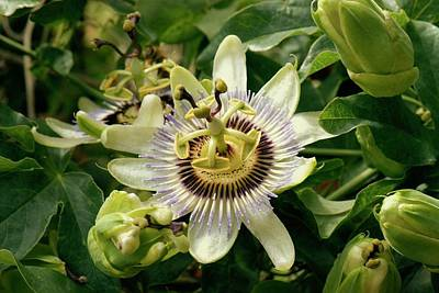 Passionflower (passiflora Caerulea) Print by Adrian Thomas