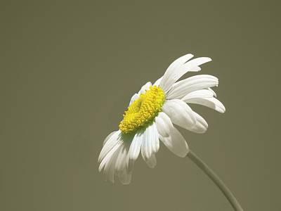 Pastel Daisy Flower Print by David Dehner