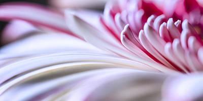 Detail Photograph - Pastel Gerbera by Adam Romanowicz