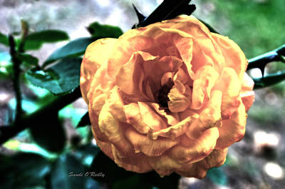 Pastel Rose Print by Sandi OReilly