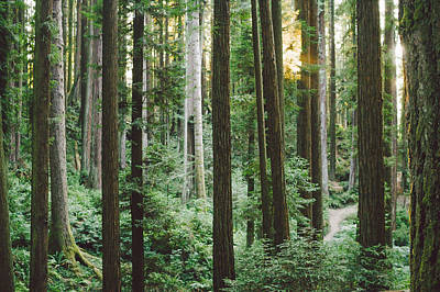 Csu Photograph - Path In The Redwoods by Andrea Borden